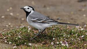Focus on: White Wagtail - BirdGuides