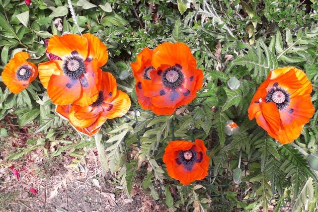 2 Jun Poppies.jpg