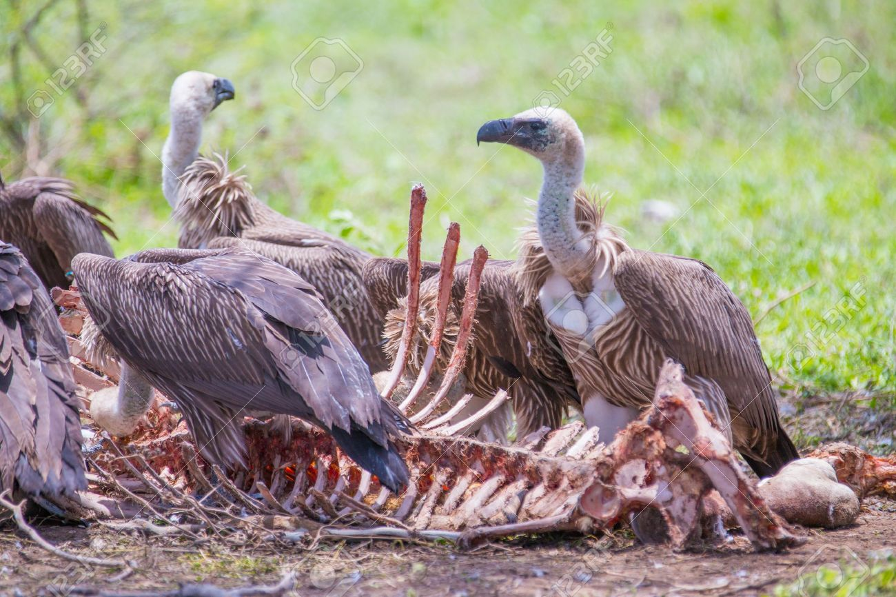 21157358-white-backed-vultures-feeding-off-a-carcass.jpg