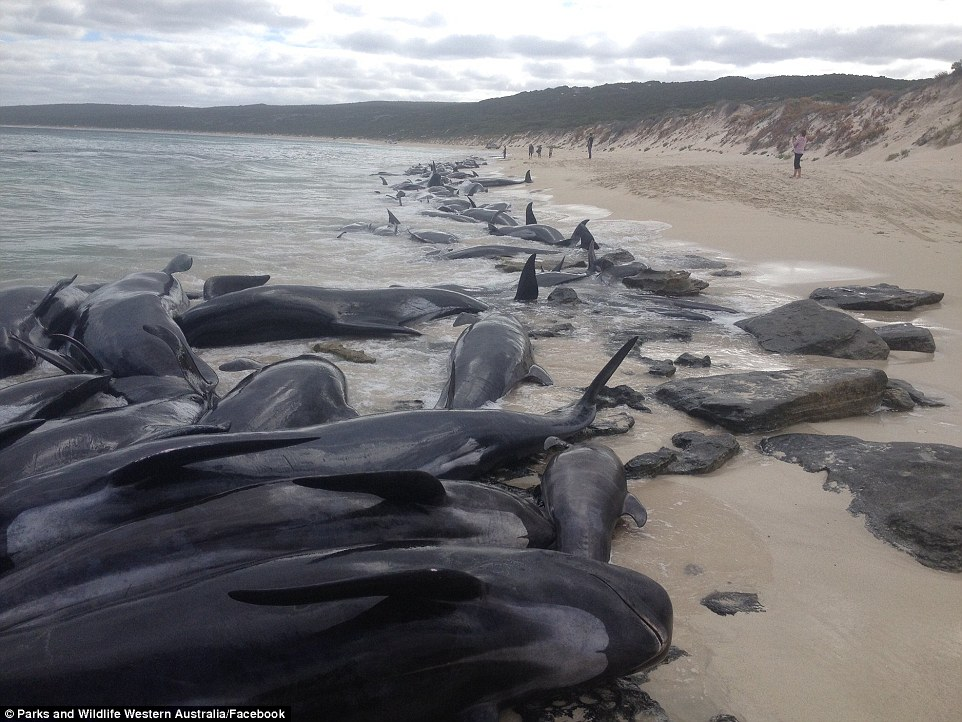 4A7632D000000578-5534661-The_whales_were_spotted_by_distressed_locals_who_captured_images-a-10...jpg