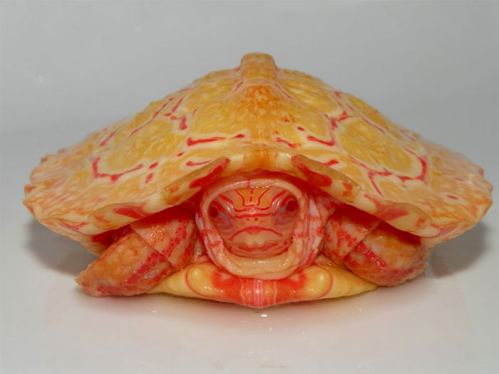 albino-turtles-24-5dd52c67b9349__700.jpg