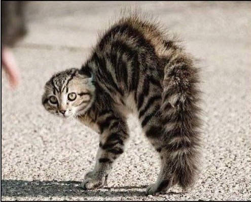 Arched Back Tabby clip.jpg
