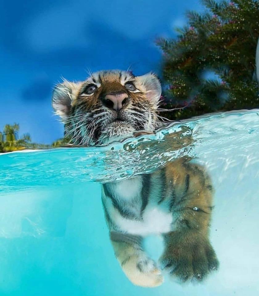 baby tiger.jpg
