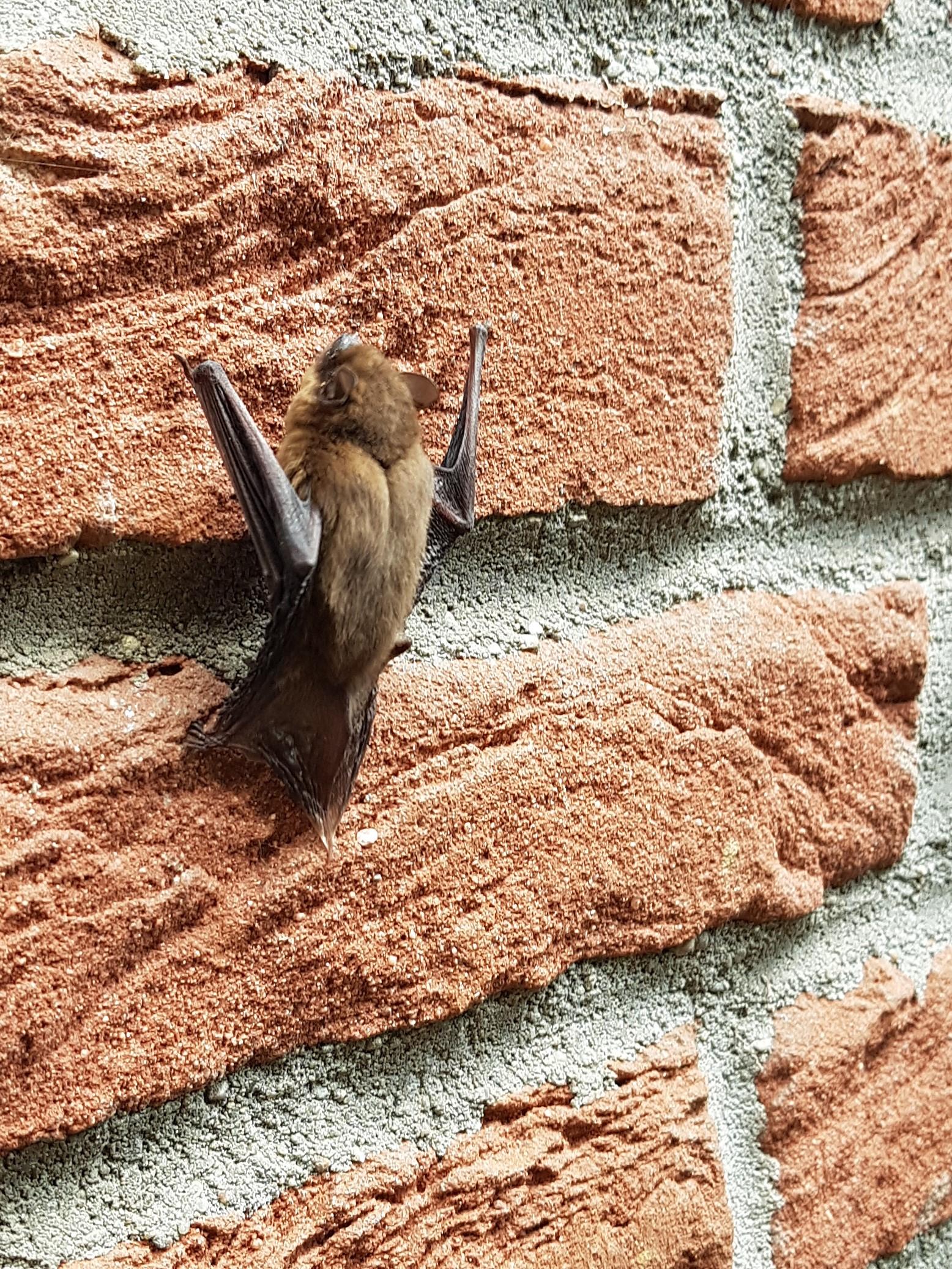 bat climbing cropped.jpg