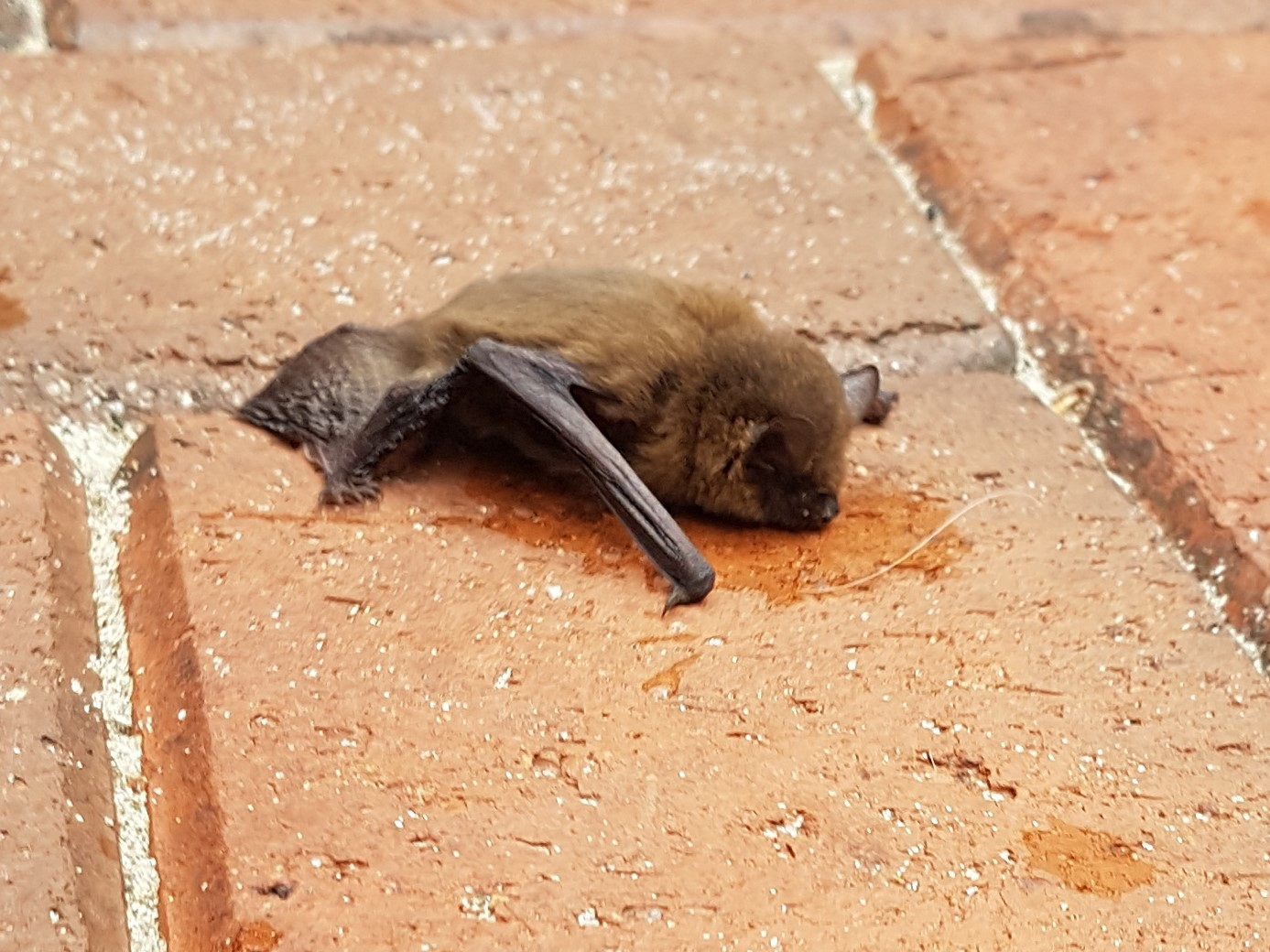 bat drinking cropped.jpg