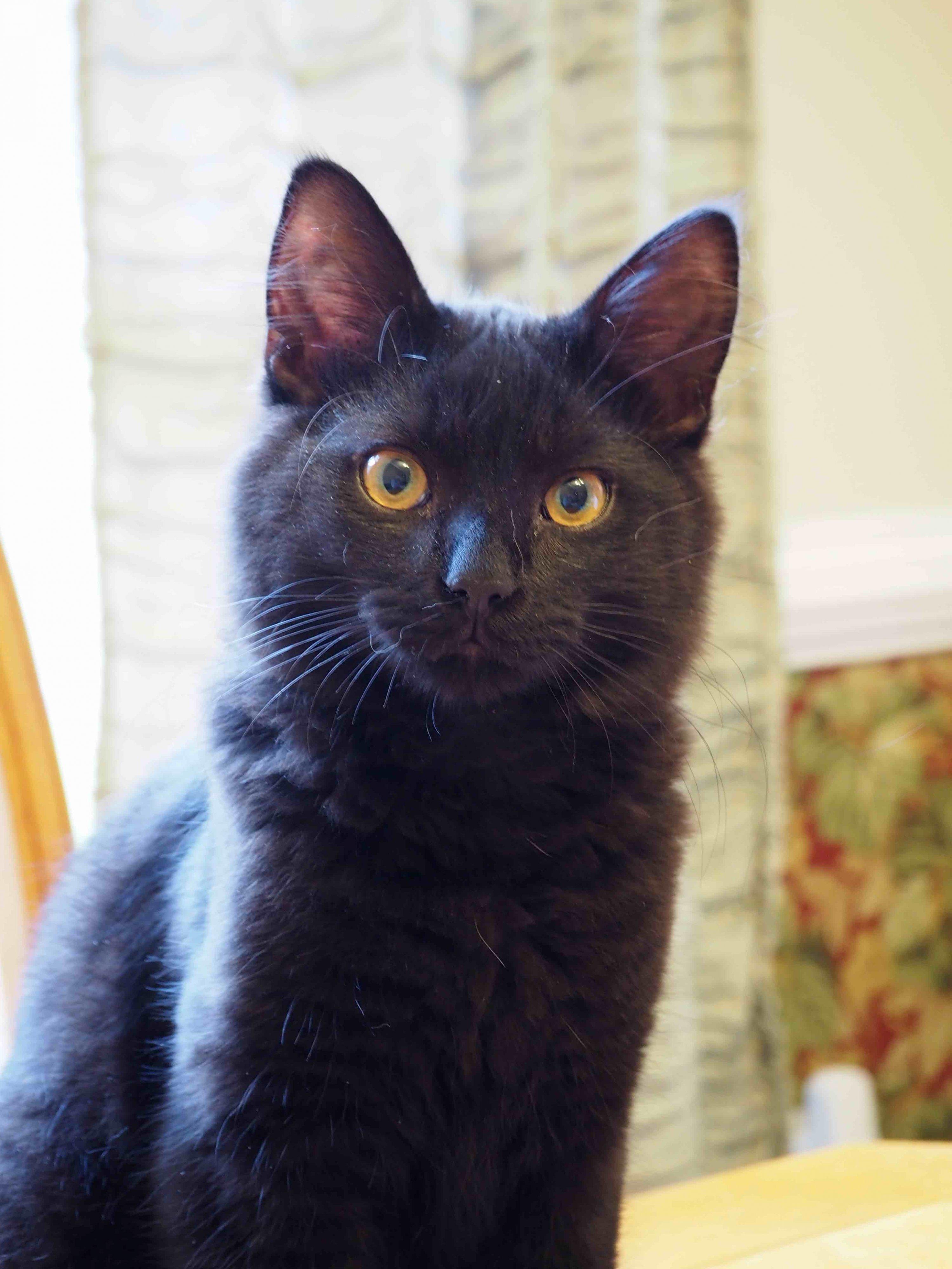 Black Cat Glaring.jpg