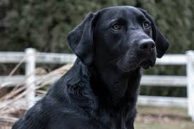 Black Lab Dog.jpg