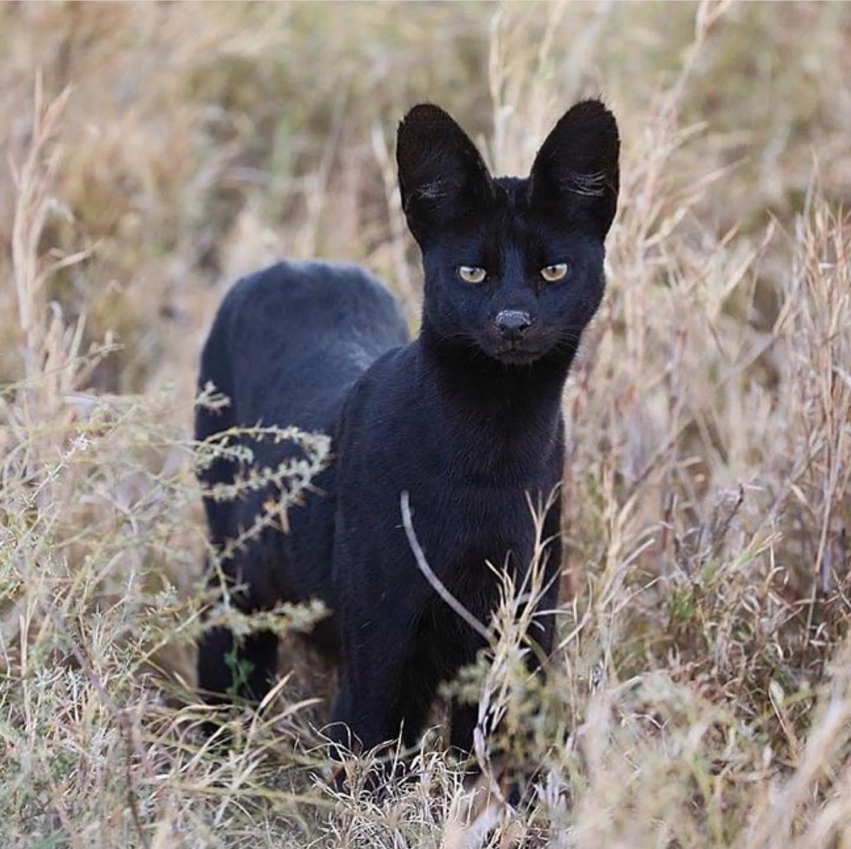 black serval.jpg