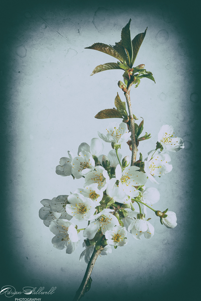Cherry Blossom-1.jpg