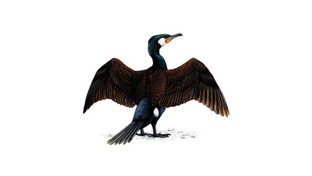 cormorant_adult_1200x675.jpg