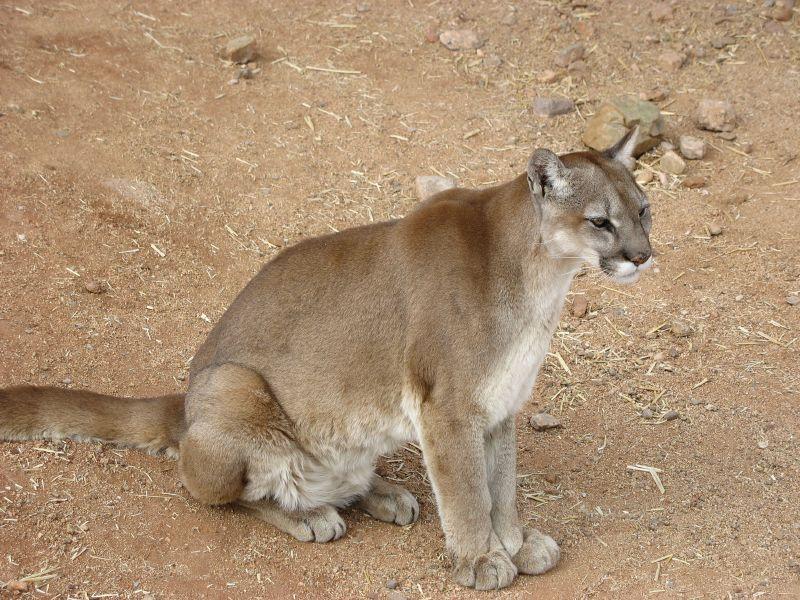 Cougar_sitting.jpg