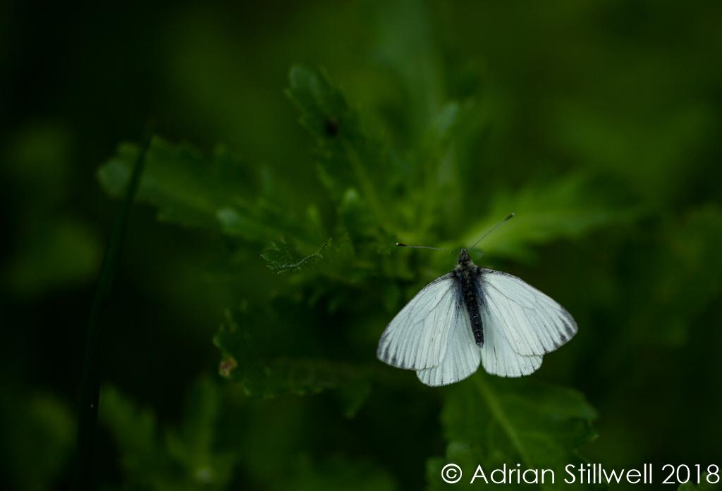 Dark Veined White-1-3.jpg