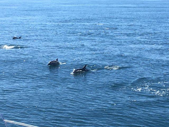 Dolphins off Angle Point-Sun 22 Jul 18.JPG