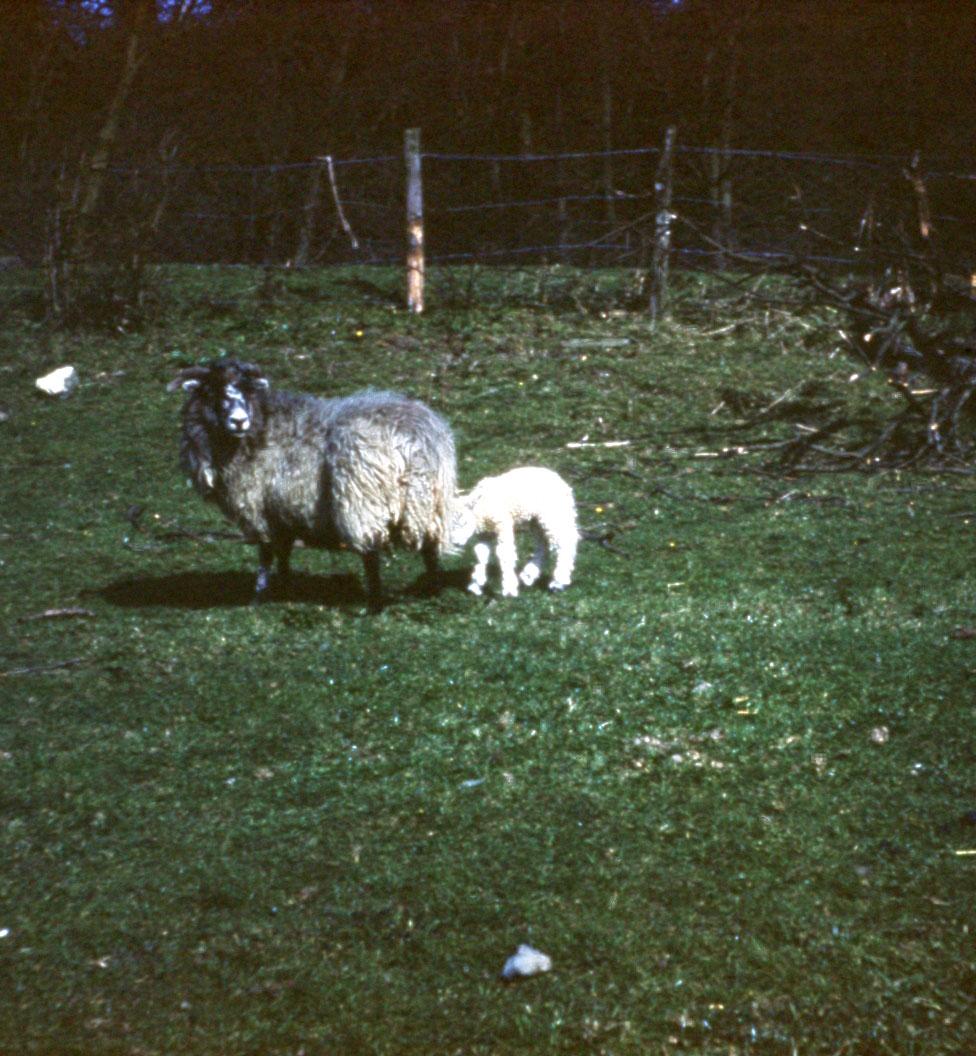 first spring lamb.jpg