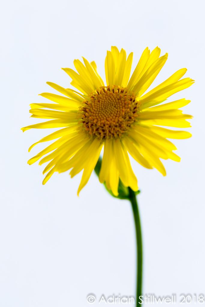 Flower SL-1.jpg