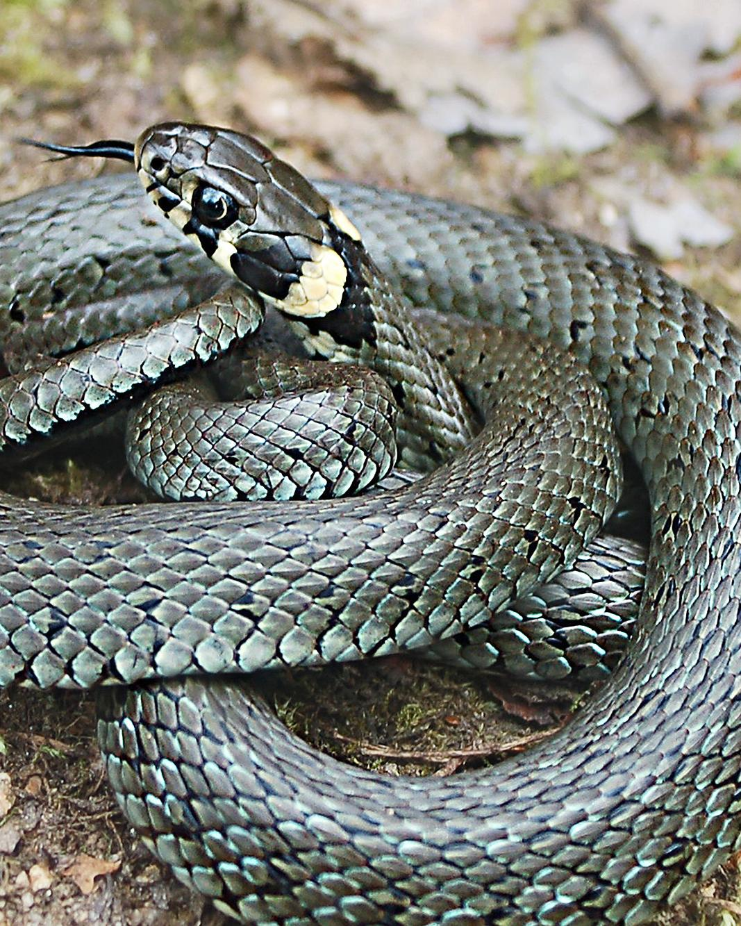 grass snake.jpg