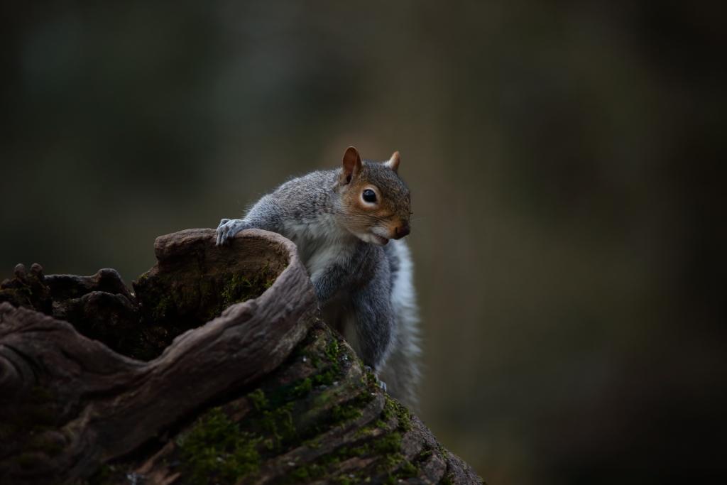 Grey Squirrel.JPG