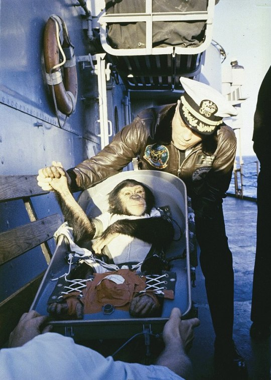 Ham the Astrochimp, the first non human hominid launched into space, 31 January 1961.jpg