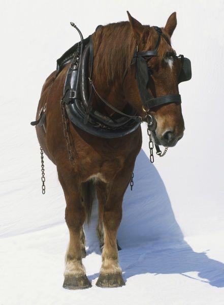 harnessed-brown-horse-equus-caballus-blinkers-9457899.jpg