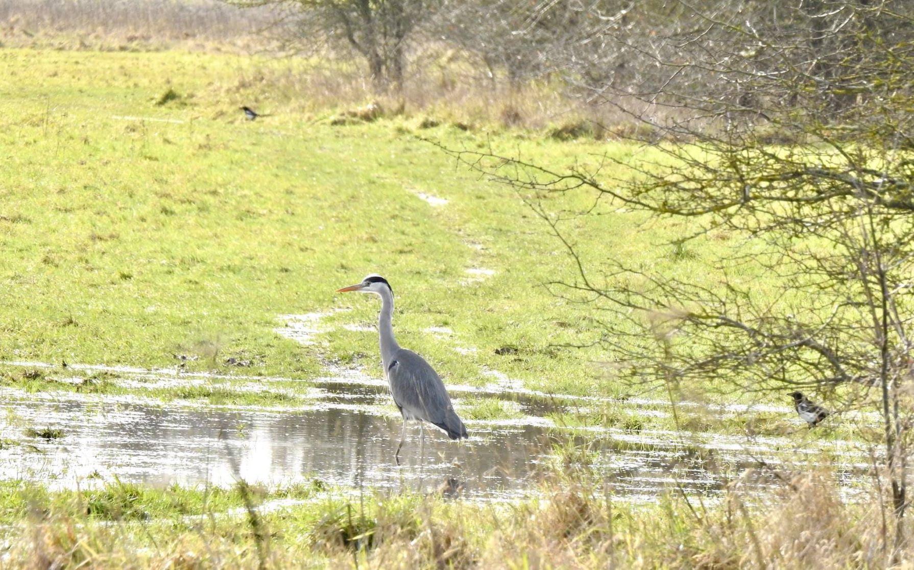 Hatfield Heron.jpg