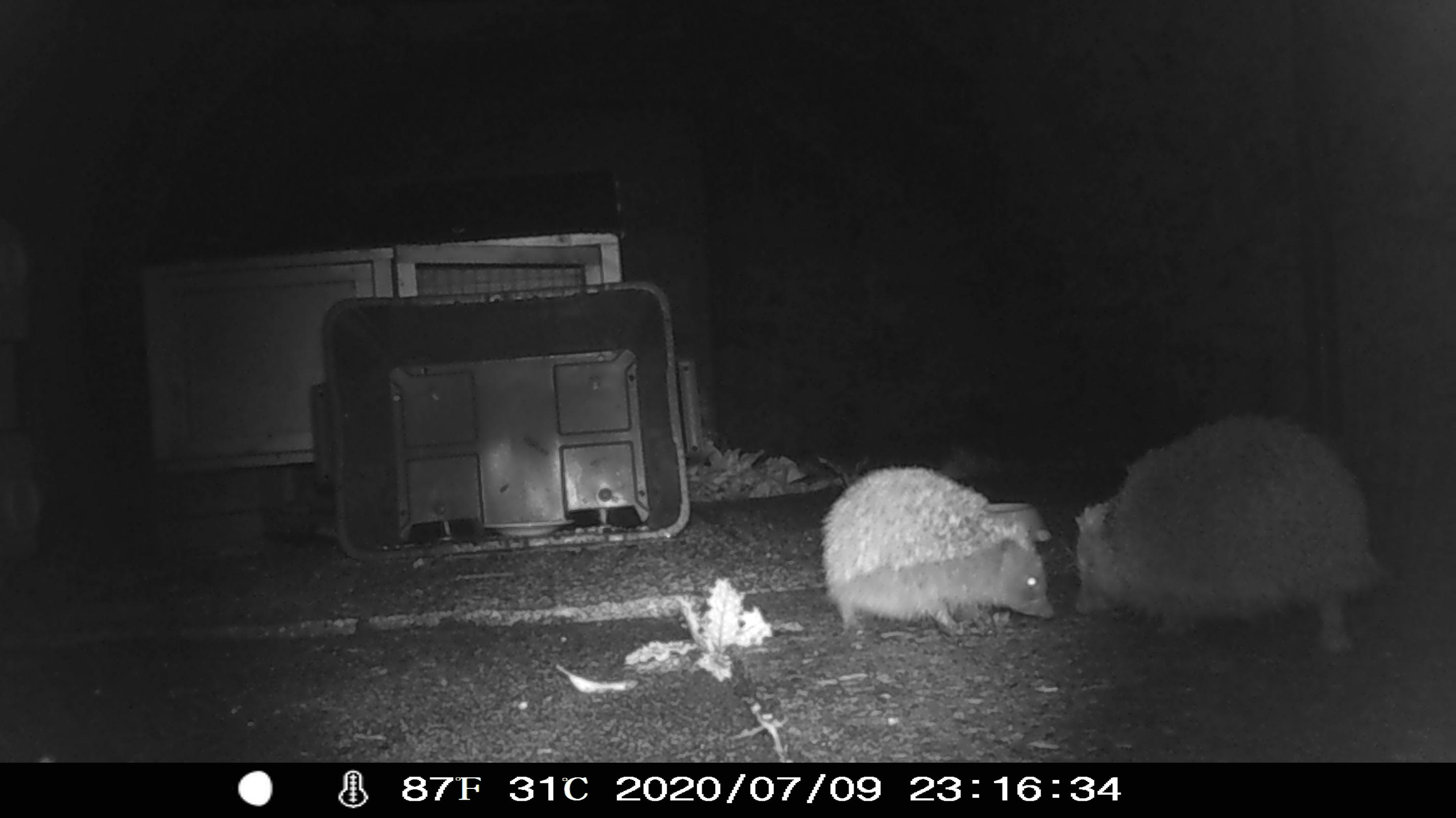 Hedgehogs courting.JPG