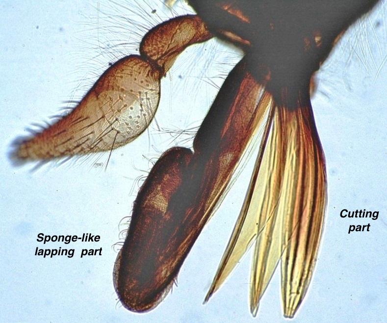 horsefly mouth.jpg