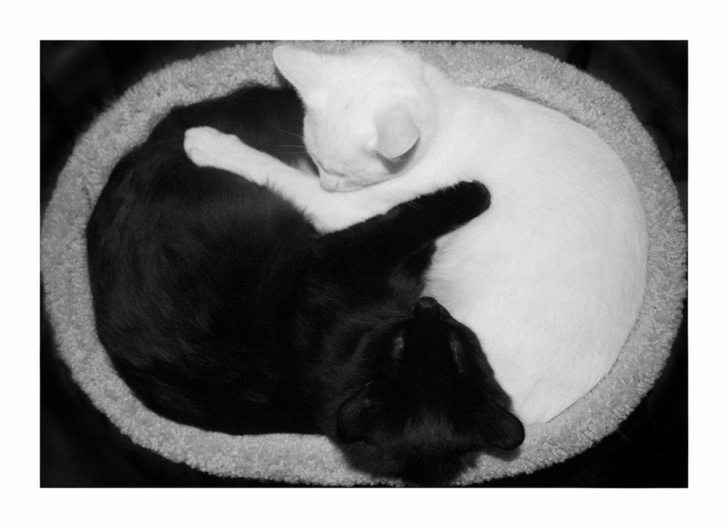 kitten_ying_yang_by_clz.jpg