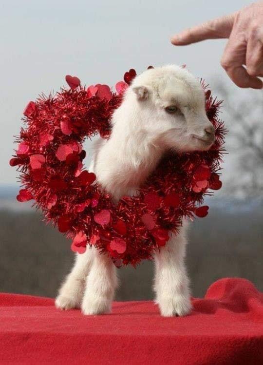 pet lamb.jpg