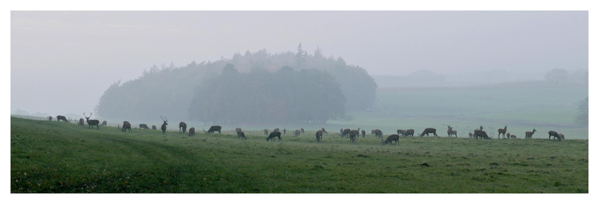 Raby herd.jpg