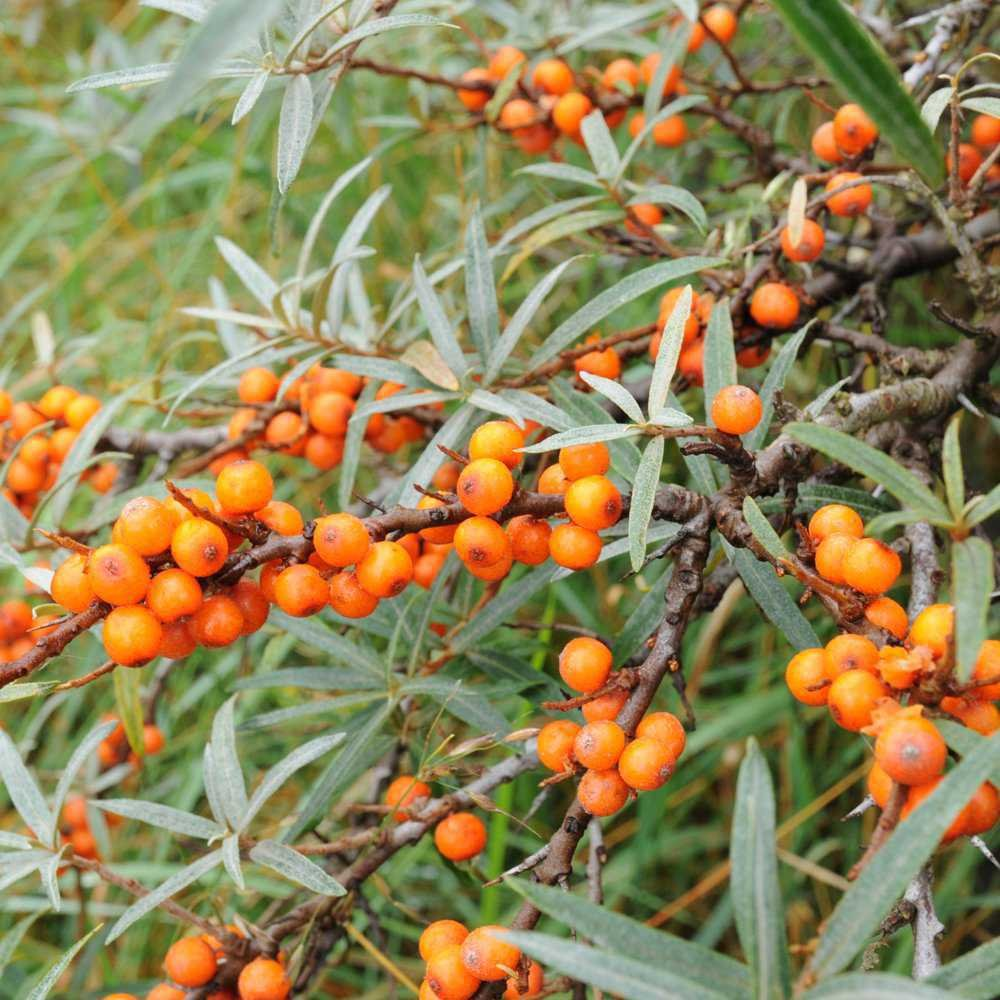 sea-buckthorn-hedge-plants-p101-2433_zoom.jpg