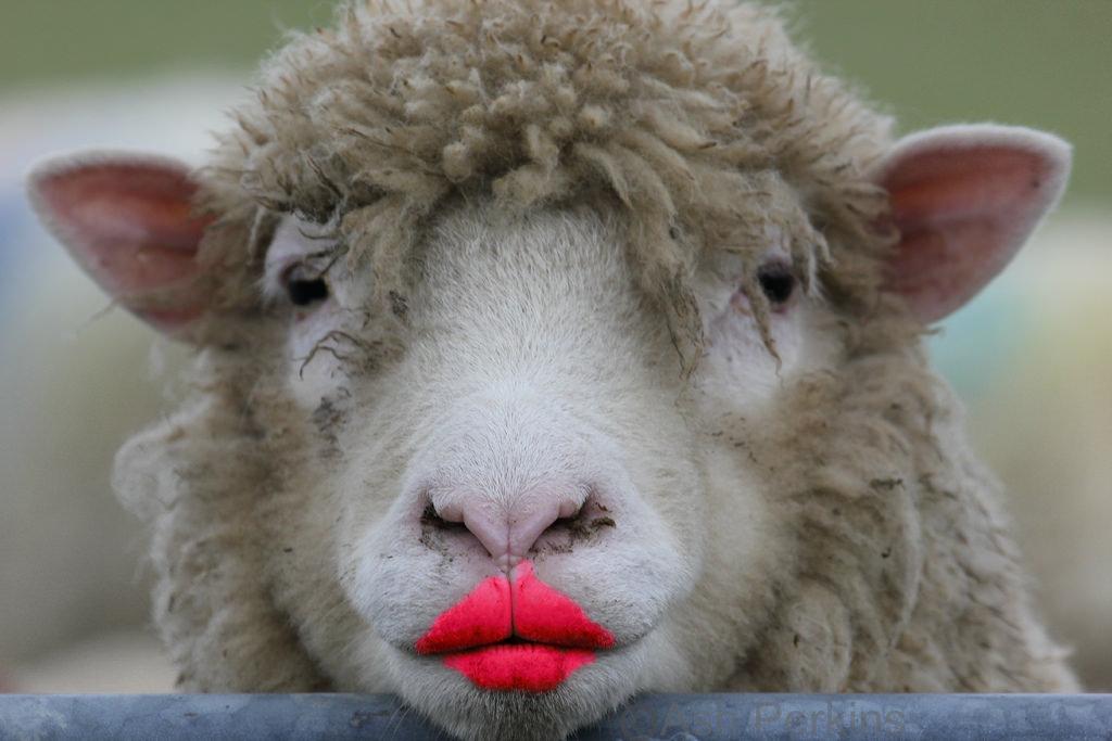 sheeplippy.jpg