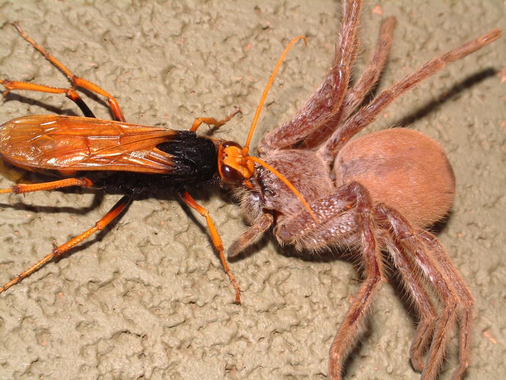 spider wasp.jpg