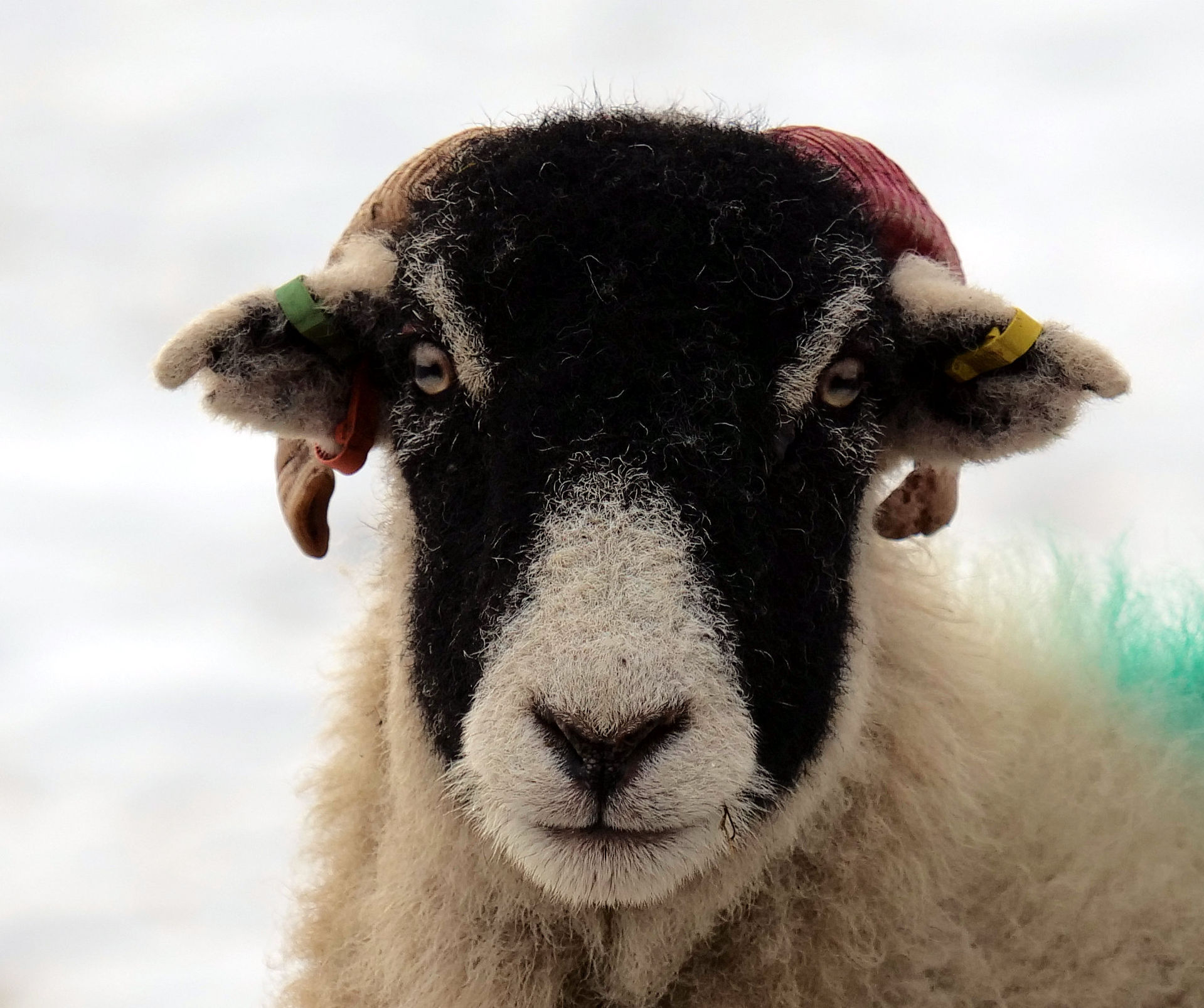 Starin oot a sheep.jpg