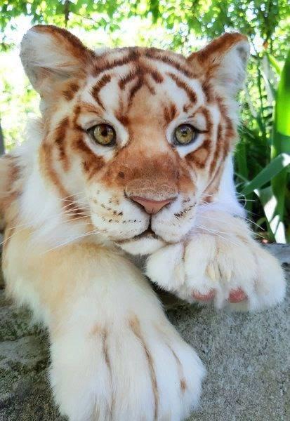 tiger 5.jpg