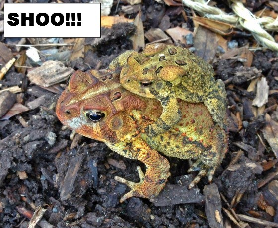 Toad hitching a ride with text in box.jpg