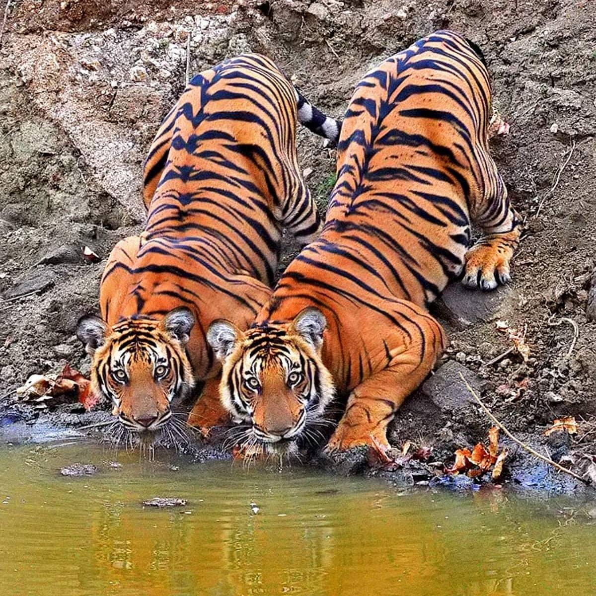 twin tigers.jpg